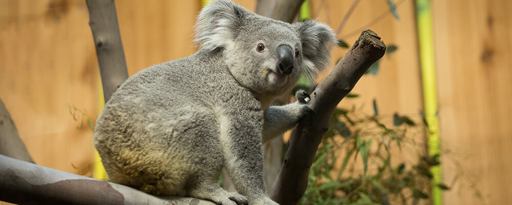 Koala study for animal behaviour