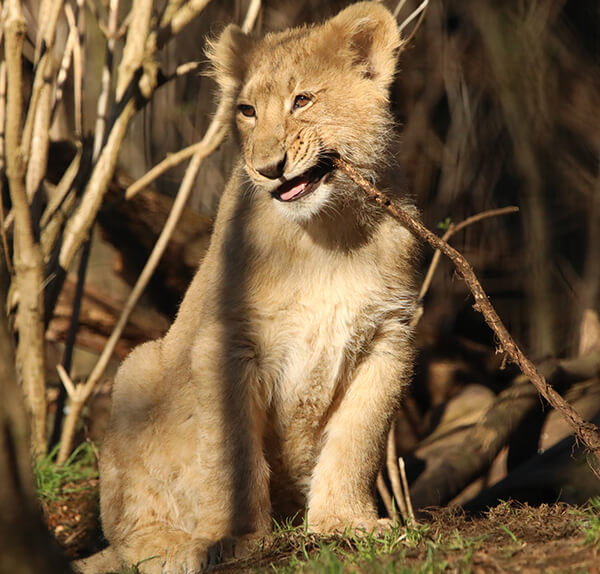 Lion Cub at Edinburgh Zoo