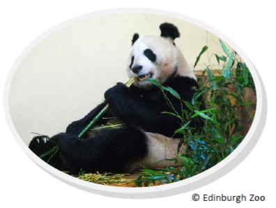 Edinburgh Zoo's panda eating bamboo