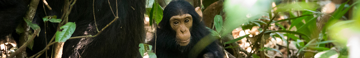 Baby Chimp in Budongo Rainforest