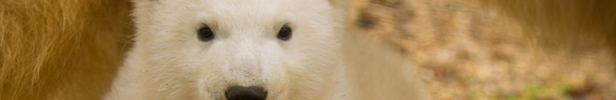 Polar bear cub face