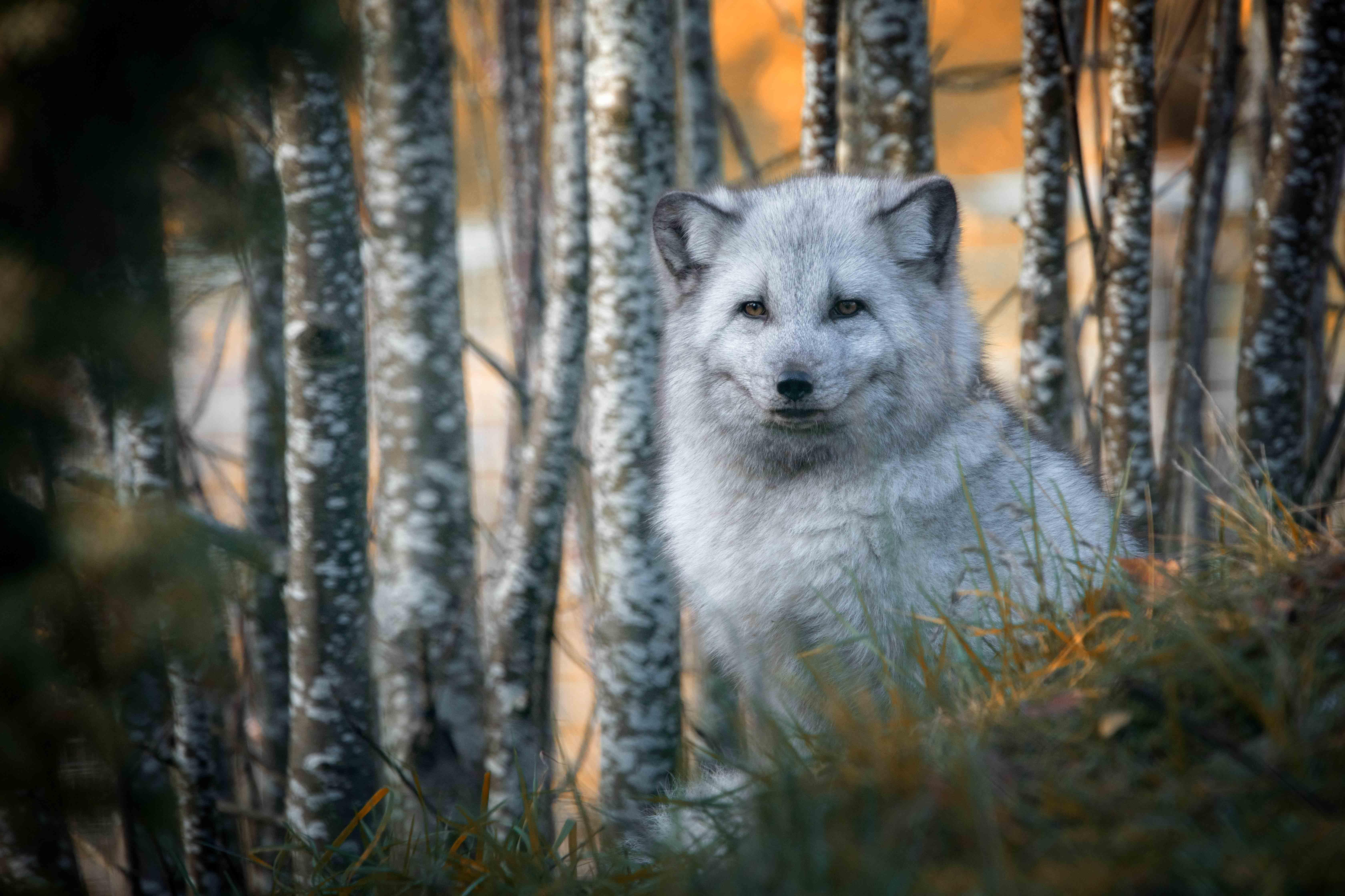 Arctic fox in woodland