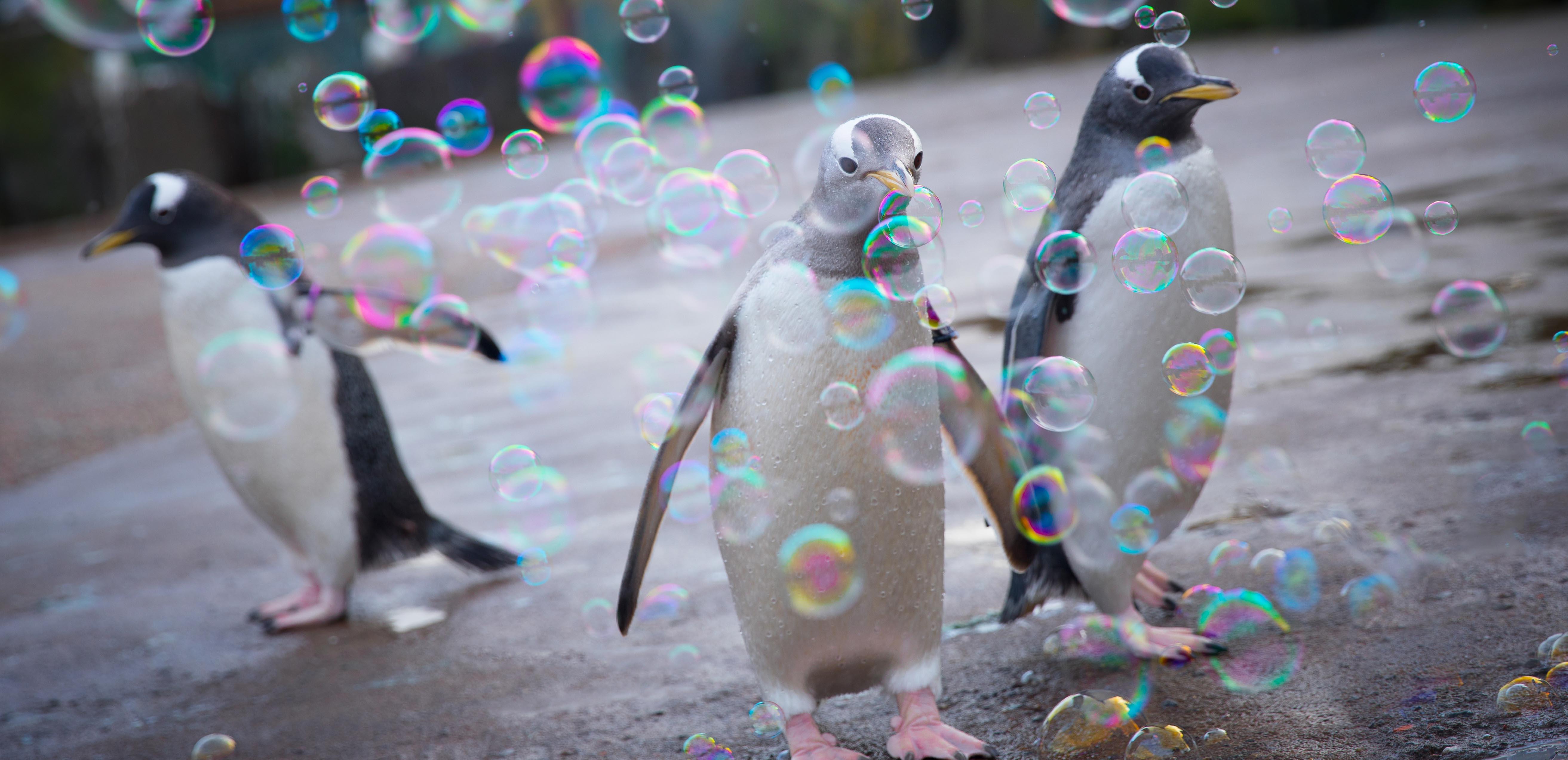 Penguin with leucism
