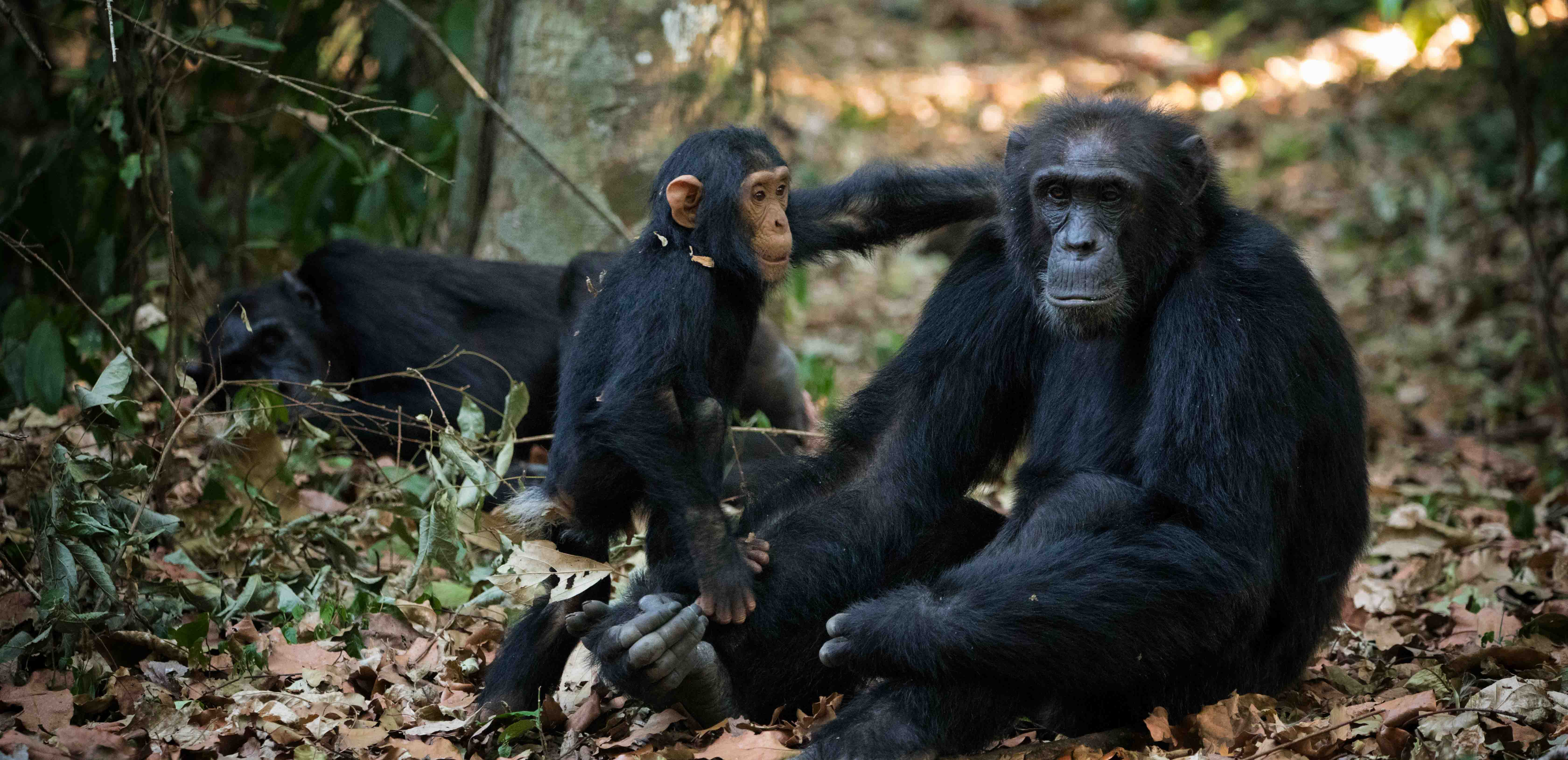 Chimps in Budongo Forest