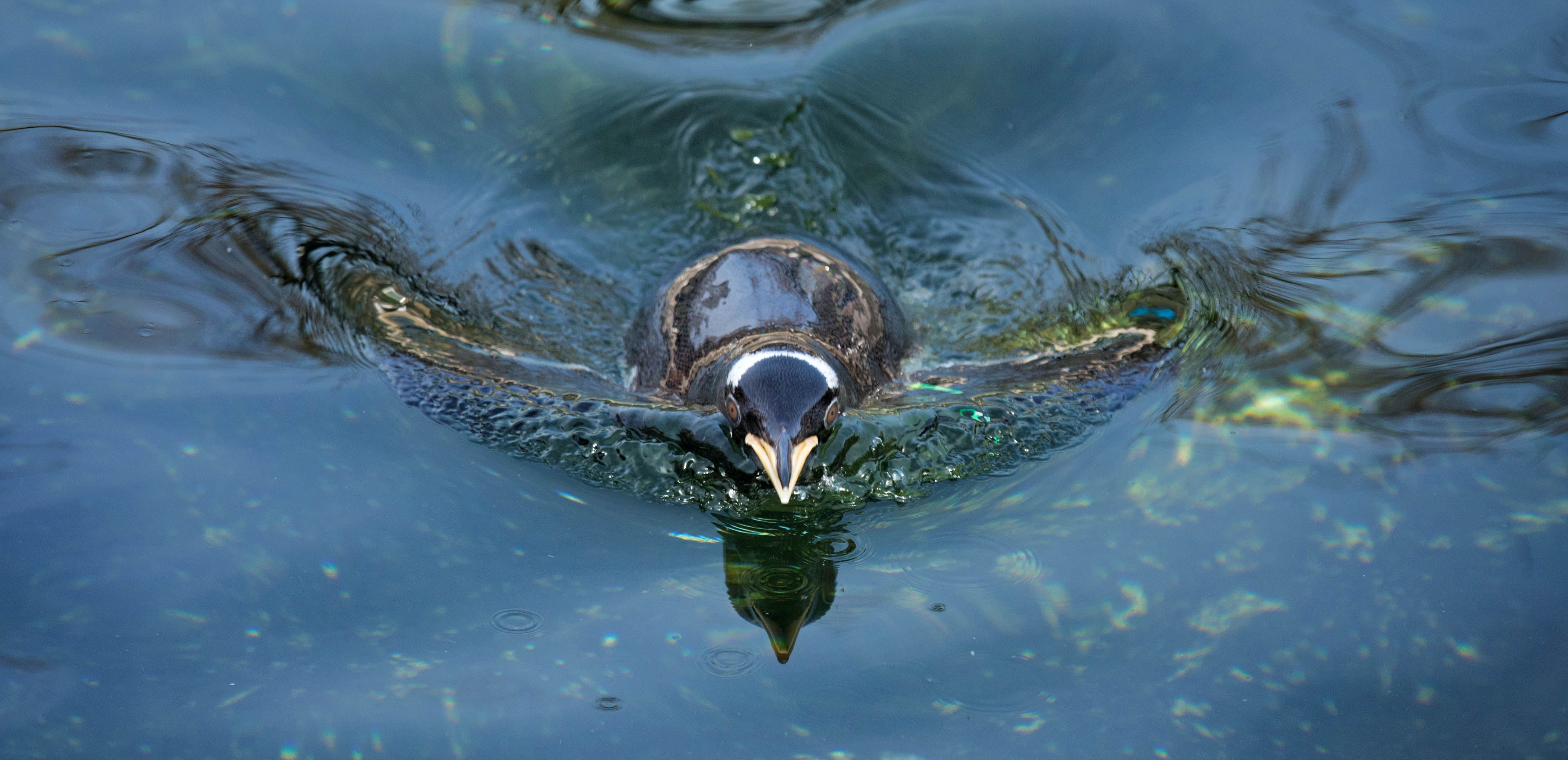 Penguin swimming SA