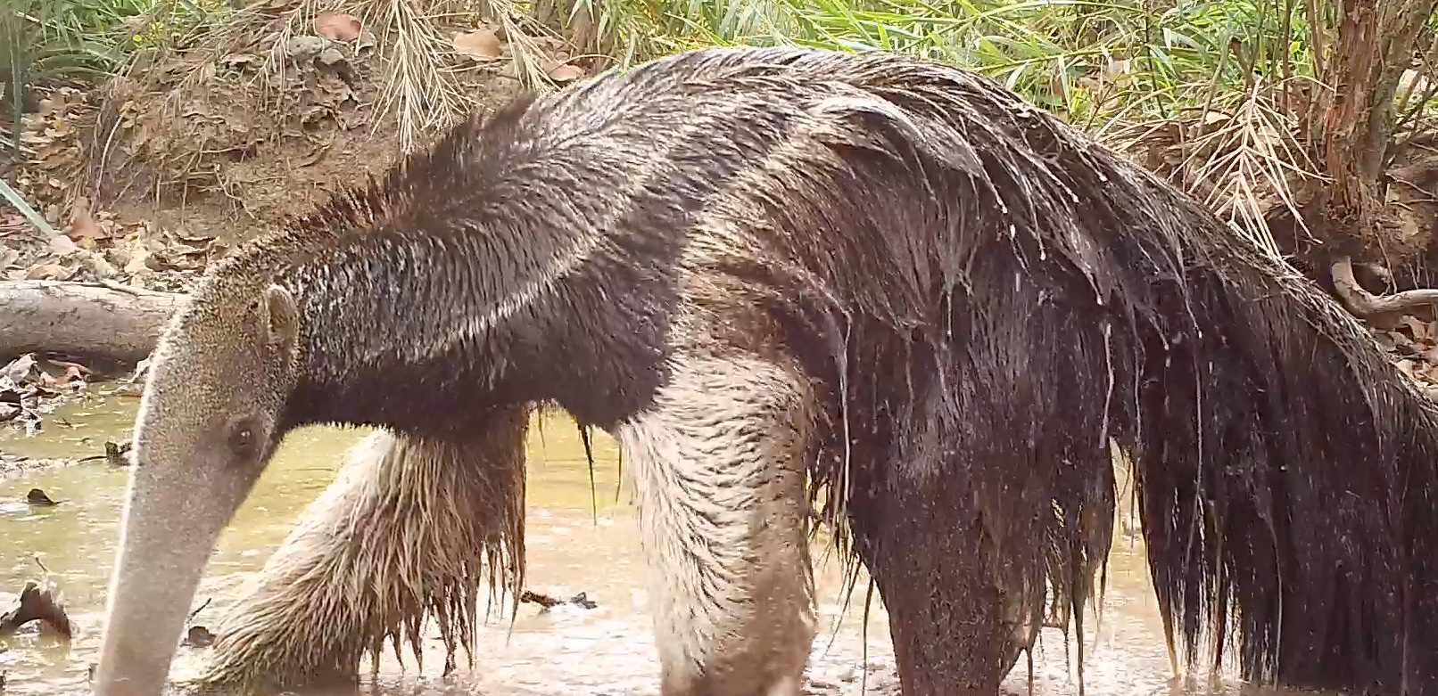 Giant anteater camera trap