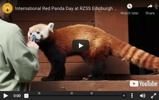 A red panda sniffs an item held by a zoo keeper