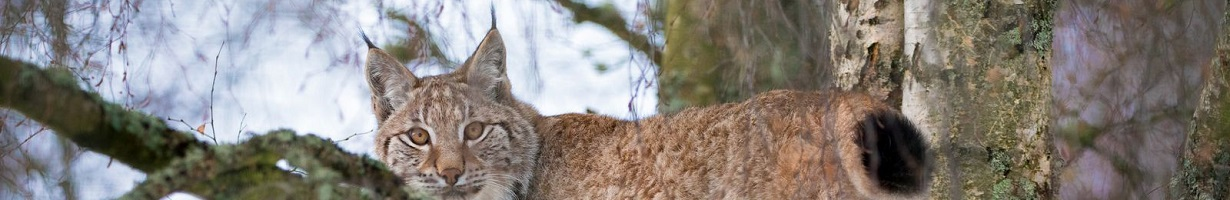 Lynx in a tree looks at the camera