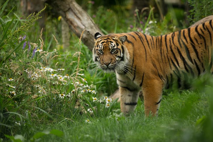 Sumatran tiger looking to the side