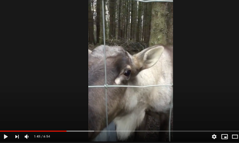 reindeer video front page