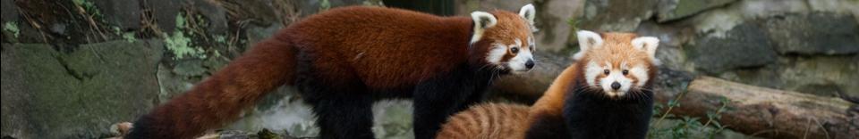 red pandas on branch