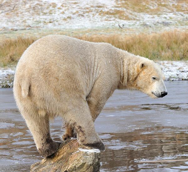Polar bear at the highland wildlife park
