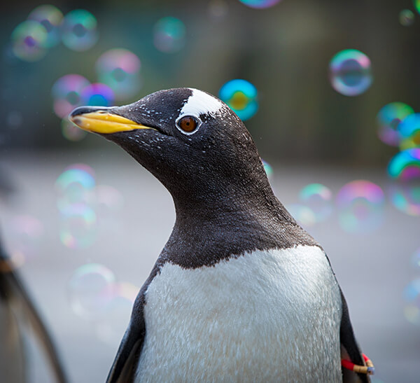 Gentoo penguin with bubbles