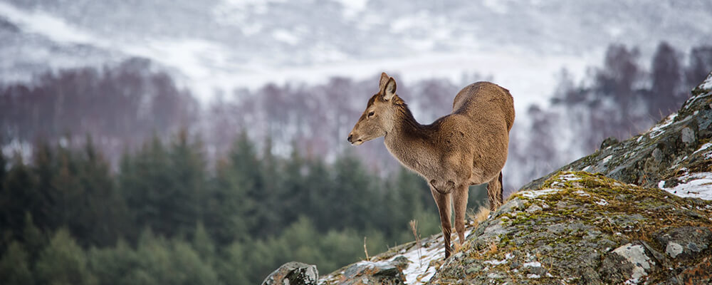 A deer and a view of the mountains at the highland wildlife park