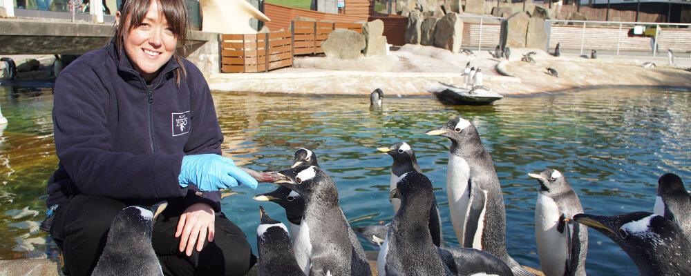 a keeper feeding penguins
