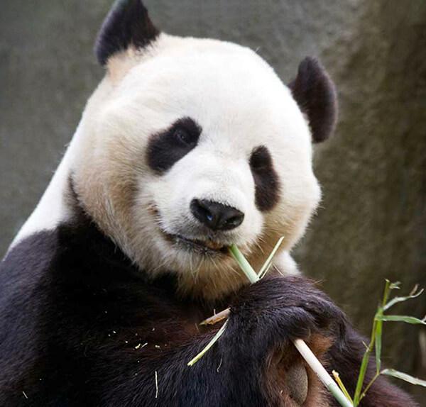 a giant panda relaxing