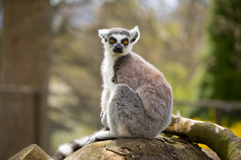 ring-tailed lemurs on a post