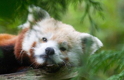 Red panda napping in a tree