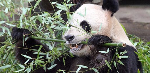 Beyond the Panda